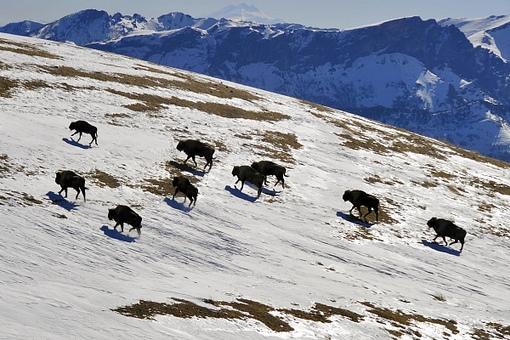 На территории Кавказского заповедника насчитали более 300 зубров.