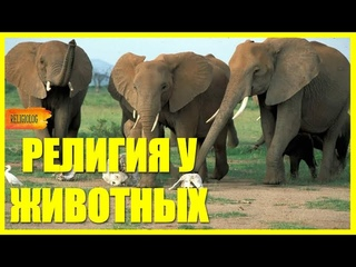 РЕЛИГИЯ У ЖИВОТНЫХ - чему поклоняются звери - ритуальное поведение у обезъян, слонов, дельфинов