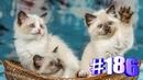 Смешные коты Приколы про кошек Видео про котов Котомания 186
