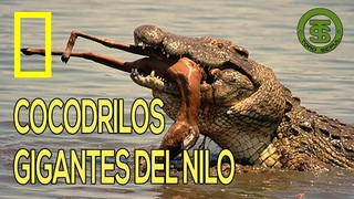 Documental | COCODRILOS GIGANTES DEL NILO