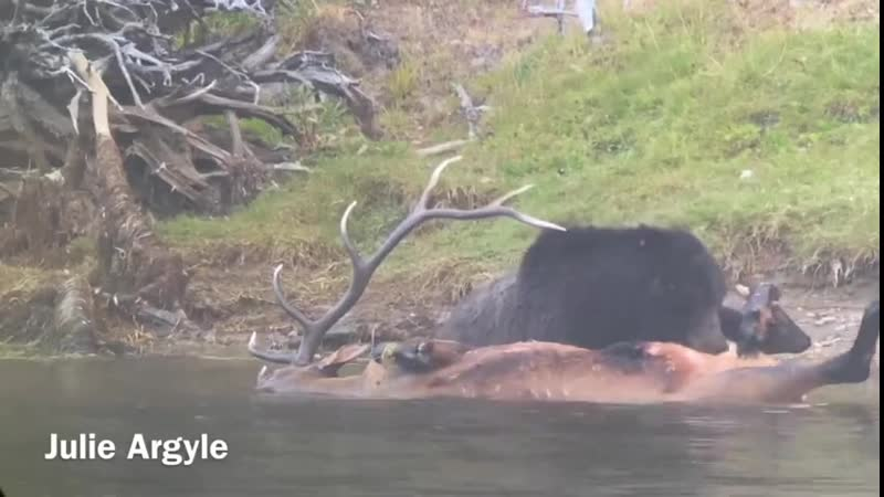 Идя по следу добычи медведь способен без устали преследовать её на протяжении десятков километров