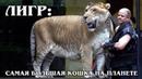ЛИГР Гибрид льва и тигра – самый большой экземпляр кошачьих Интересные факты про больших кошек
