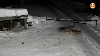 На окраине Екатеринбурга стая волков утащила собаку из будки (ВИДЕО)