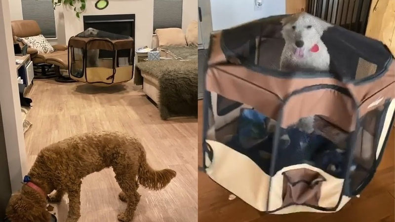 Crazy Dog Refuses To Sit Still Inside Portable Play Pen
