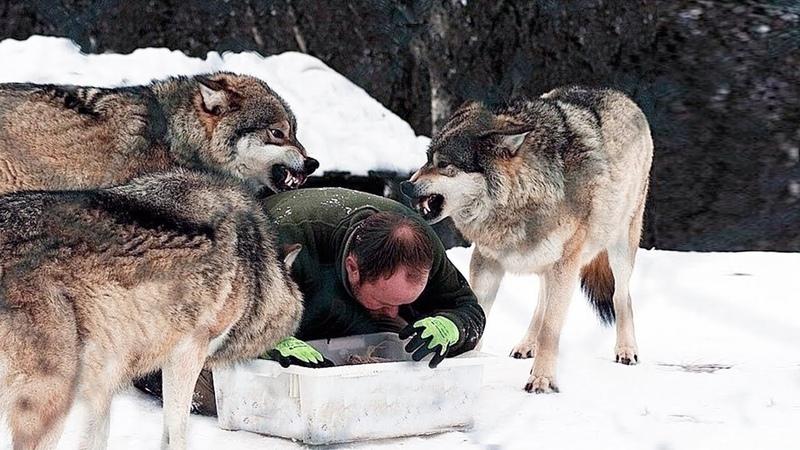 Мужчина спас жизнь дикому волку однажды их пути снова пересеклись и зверь не остался в долгу…