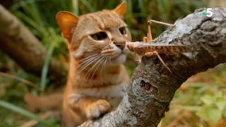 Самая Маленькая из всех Кошачьих!  Ржавая кошка – Ловкий, скрытный и глазастый хищник!