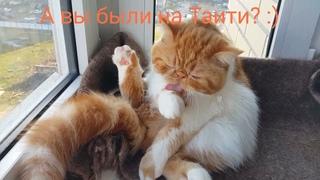 Веселые моменты из жизни котенка экзота Афи и шиншилл - Чили, Майка. Пушистые и милые хвосты