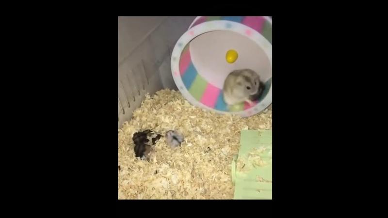 Хомяк учит детеныша крутиться в колесе очень смешное видео