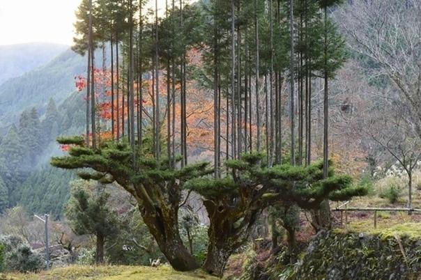 Дайсуги – древняя техника, позволяющая получить много древесины из одного дерева