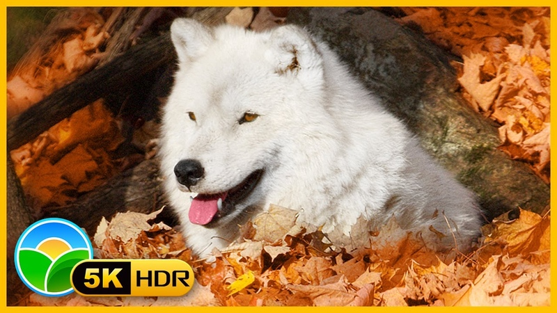 Beautiful Autumn Wildlife in 4K HDR 60fps 🐺🍁 Fall Leaves Colors Relaxing Piano Music - 5K Retina