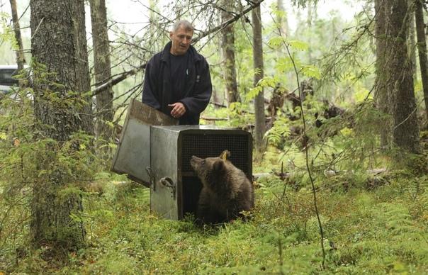 Житель деревни в Тверской области спас и воспитал более 200 медвежат