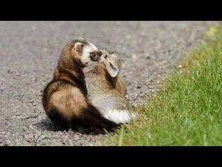 ХОРЁК В ДЕЛЕ! Быстрый, ловкий, хитрый зверек против белки, суслика, кролика, собаки и даже змеи!