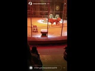 Львы подрались в екатеринбургском цирке
