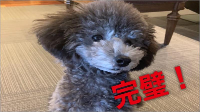 ドックトレーニング父母の奮闘記 宇野昌磨 フィギュアスケート トイプードル生活 宇野樹
