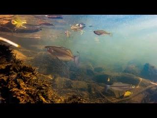 Wild Biotope of the Utchee Creek Rainbowfish North Queensland Australia.