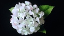 ABC TV How To Make Hydrangea Flower From Printer Paper 2 Craft Tutorial