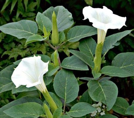 ДАТУРА Датура, больше известна в простонародье под простым названием «дурман-трава». Датура крупный монументальный однолетник с огромными (до 25 см в диаметре) колокольчатыми цветками.Цветочки
