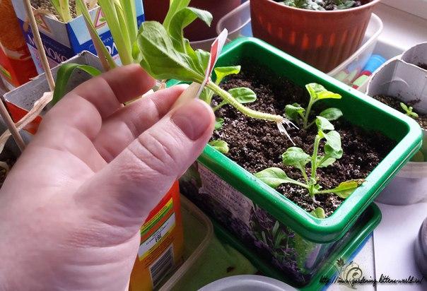 Выращивание петуний из черенков