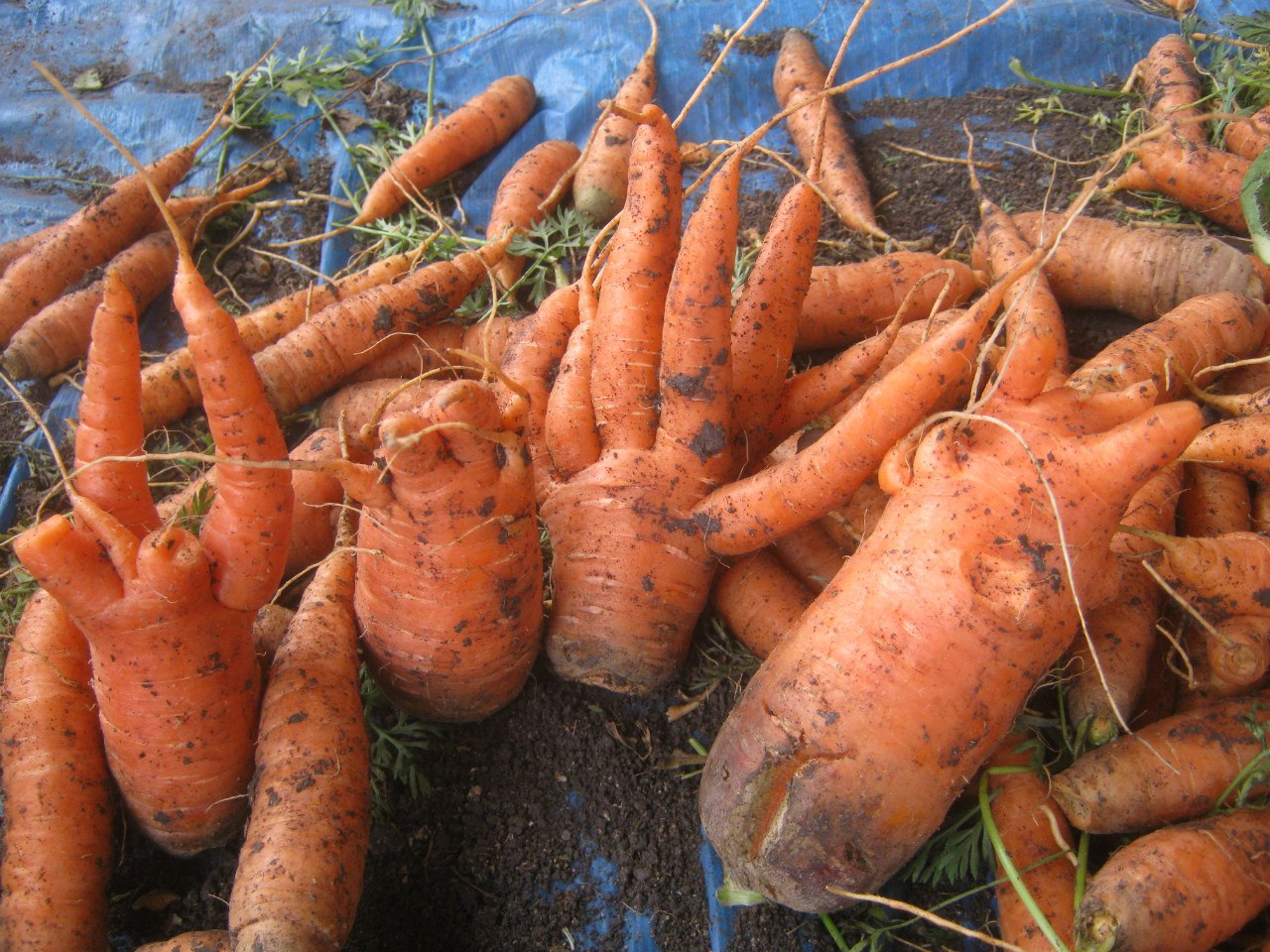 Морковь необычного сорта