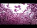 Novaline Sakura AntonAuroform pres LaMoor Remix