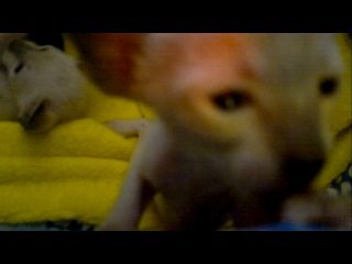 Котята ориенталы, 3 недели