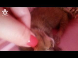 Котята Каракала порода Каракет возраст 3 дня
