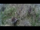 Охота с курцхааром по коростелю и перепелу в Наро фоминском МООиР