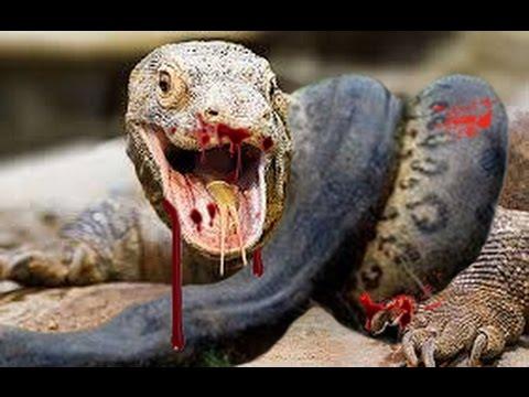 Ataques Mortais - Dragão de Komodo x Mamba Negra   Luta entre dragões e Pintinho Herói