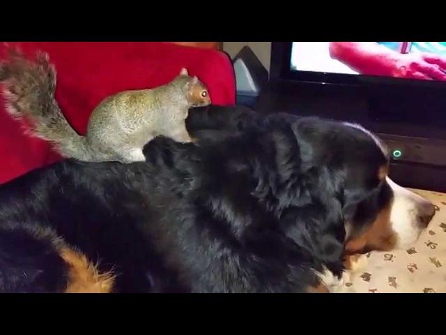 Wally the squirrel Still hiding nuts in Jax's fur