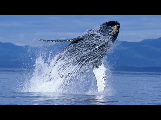 Humpback Whales Narrated by Ewan McGregor Official IMAX Trailer 4K