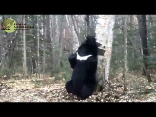 """Медведь-почесун на """"Земле леопарда""""/Bear-scratcher in the """"Land of the Leopard"""" National park"""