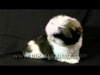 Puppy Shih Tzu - Pleasure of Life