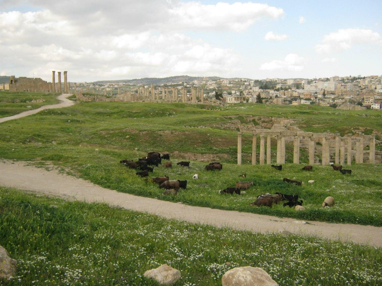 козы и бараны ходят по территории древне-римского города
