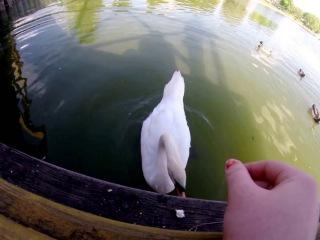 Кормлю лебедя с рук