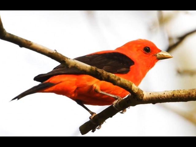 Bunte Vögel und ihr Gesang