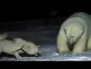 Бой маламута с белым медведем. дикий мир и поведение животных в нем.