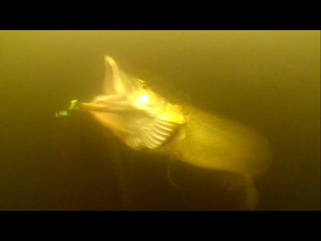 Fishing wt lures pike attack Pig Shad Jr softbait underwater. Рыбалка щука на силикон атака.