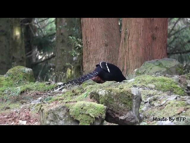 Mikado pheasant Фазан Микадо Syrmaticus mikado