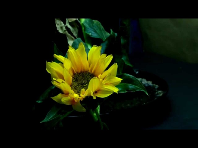 Life cycle of a Sunflower (with music) - time lapse