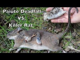 Paiute Deadfall Trap In Action vs. Huge Killer RAT. Bushcraft Survival Skills.
