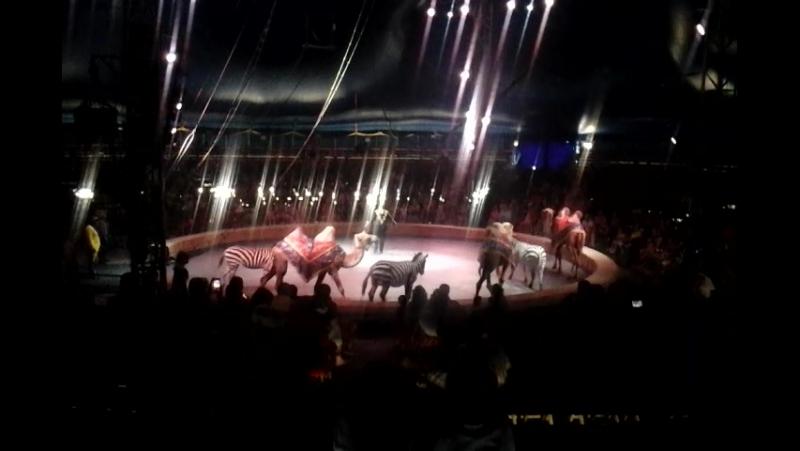 Цирк Кобзов.Верблюди и зебры
