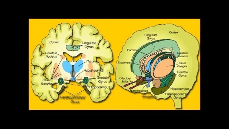 ***Лимбическая Система Головного Мозга***|***Limbicheskaja Sistema Golovnogo Mozga***