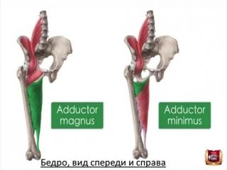 Мышцы таза и бедра: строение, функции, кровоснабжение, иннервация.