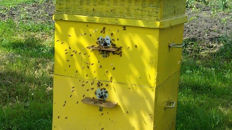 Облет молодой пчелы породы карпатка