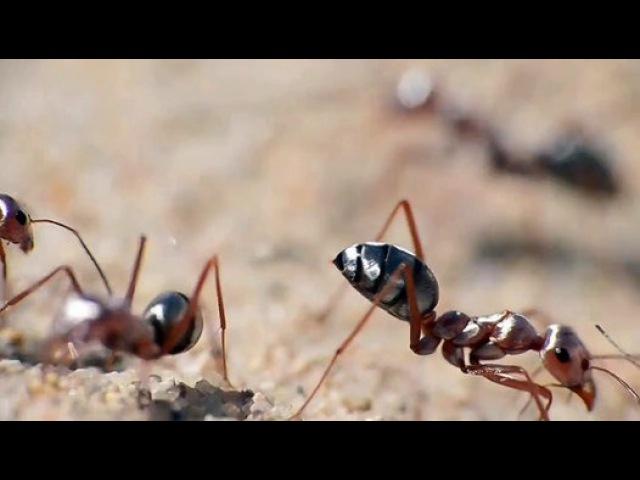 Cataglyphis bombycina Серебрянный сахарский муравей