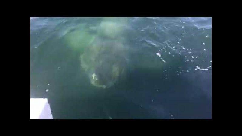 Giant Shark Encounter, Barnstable Harbor, Cape Cod, 2017