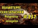 137 ПОЛИПТЕРУС СЕНЕГАЛЬСКИЙ Polypterus senegalus Содержание как разводить и чем кормить