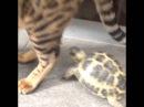 Черепаха кусает кота