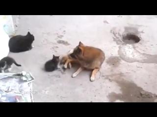 Кошка привела своих котят поиграть со знакомой собачкой )