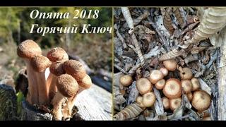 В лес по грибы - опята в октябре 2018 /Горячий Ключ Краснодарский край
